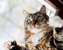 Funny cat raises paws up Stock Photos