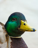 Funny mallard duck face. Portrait of a mallard duck where his smiling beak looks like a wolf mask Stock Images