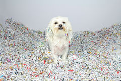 Funny Maltese Dog In Trouble Stock Images