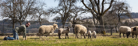 Funny man kneeling behind a herd of sheeps, Panorama. Concept integration or adaption royalty free stock images