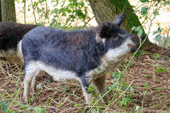 Funny Mangalica. Beautiful hairy Swallow-bellied Mangalica pig Sus Scrofa, a Hungarian breed of domestic pig with a thick and woolly coat, in the forest in the Stock Photography