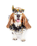 Funny Mardi Gras Dog. Funny photo of a happy Basset Hound breed dog wearing a black and gold Mardi Gras celebration mask and neck garland