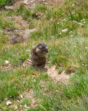 Funny marmot in Alps Royalty Free Stock Image