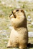 Funny himalayan marmot groundhog with bisсuit on the green meadow. In the vicinity of Pangong Tso Lake Himalayas, Ladakh, India stock images