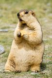 Funny marmot with bisquit on the meadow royalty free stock photography