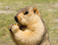 Funny marmot with bisquit on the meadow Stock Images