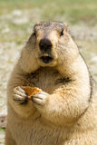 Funny marmot with bisquit on the meadow. (Ladakh, India Stock Images