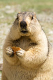 Funny marmot with bisquit on the meadow Royalty Free Stock Photo