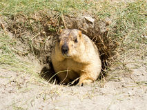 Funny marmot in the hole Stock Photography