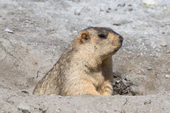Funny marmot  in Ladakh, India Royalty Free Stock Photo
