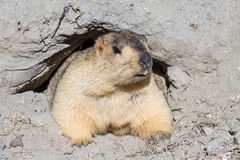 Funny marmot  in Ladakh, India Royalty Free Stock Photos