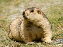 Funny himalayan marmot groundhog on the green meadow. In the vicinity of Pangong Tso Lake Himalayas, Ladakh, India royalty free stock images