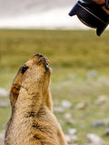 Funny marmot on the meadow looking into the lens Royalty Free Stock Photo