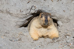 Funny marmot peeking out of a burrow, India Stock Images