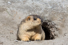 Funny marmot peeking out of a burrow in Ladakh, India Stock Photography