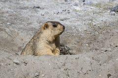 Funny marmot peeking out of a burrow in Ladakh, India Stock Image