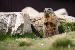 Funny marmot Royalty Free Stock Photos