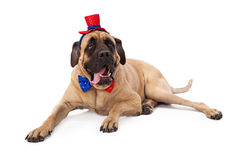 Funny Mastiff on Fourth of July Royalty Free Stock Photo