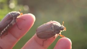 Funny maybugs chafer creeping by the hand