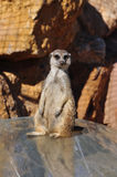 Funny meerkat animal Stock Images