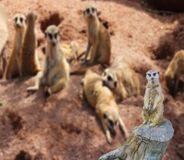 A funny meerkat standing on a tree stump with his family in the background with blurry effect. Funny meerkat standing on a tree stump with his family in the royalty free stock images