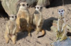 Funny meerkat standing on a tree stump with his meerkats family in the background. A funny meerkat standing on a tree stump with his meerkats family in the stock images