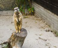 Funny meerkat standing on a tree trunk and looking in the camera. A funny meerkat standing on a tree trunk and looking in the camera stock photography