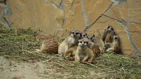 Funny meerkats playing in the sun stock video footage