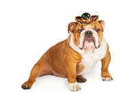 Funny Mexican Bulldog Wearing Sombrero. Bulldog breed dog sitting while wearing a small Mexican sombrero hat royalty free stock photo