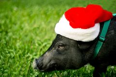 Mini pig in the hat of Santa Claus . 2019 is the year of the earth pig. Funny mini piggy walking on the grass royalty free stock images