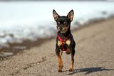 Funny Miniature Pinscher Royalty Free Stock Photos