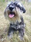Funny Miniature Schnauzer royalty free stock images