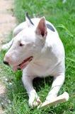 Funny Minibullterrier In The Garden. White Funny Minibullterrier Enjoy His Bone In The Garden Royalty Free Stock Photo