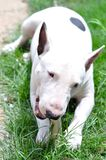 Funny Minibullterrier In The Garden. White Funny Minibullterrier Enjoy His Bone In The Garden Royalty Free Stock Photography