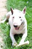 Funny Minibullterrier In The Garden. White Funny Minibullterrier Enjoy His Bone In The Garden Stock Photography
