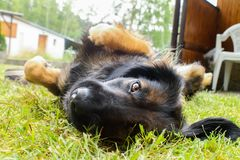 Funny mix breed scruffy dog staring to a camera. Lying at grass stock photos