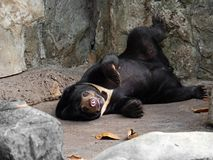Funny Moment of Malayan Sun Bear with Boring Face Lie Down on Th. Funny Moments of Malayan Sun Bear with Boring Face Lie Down on The Ground royalty free stock photography