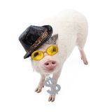 Funny Money Hungry Pig. Funny photo of a pig wearing a pimp hat, yellow sunglasses and a necklace with a big dollar sign Royalty Free Stock Image