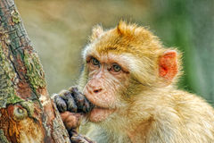 Funny monkey. Put fingers into mouth royalty free stock photography