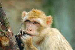 Funny monkey. Put fingers into mouth royalty free stock image