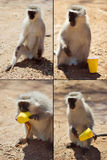 Funny monkey. Sequence of monkey thief. Preparing, who me, the bandit, I got you royalty free stock image