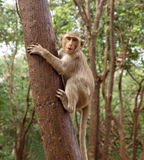 Funny monkey Stock Photography
