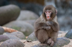 Funny monkey. Cute funny looking monkey on a rock royalty free stock images