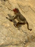 A funny monkey climbing on the rock hill. Royalty Free Stock Image