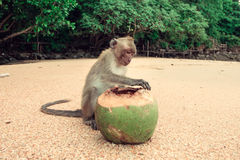 Funny monkey with a coconut. Stock Image
