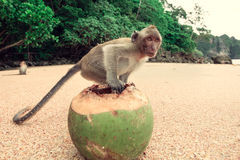 Funny monkey with a coconut. Stock Photo
