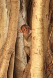 Funny monkey cub peeping. Behind the tree roots stock photo