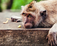 Funny monkey eating a banana. With huge eyes stock photos