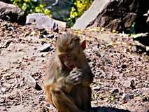 Funny Monkey. Eating dry  food. Clicked by p&p photography Royalty Free Stock Image