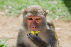 A funny monkey eats a banana. He looks directly into the camera stock photos